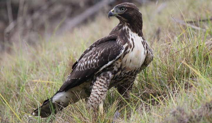 BrightSource Adds Red-Tailed Hawks to Solar CSP Menagerie