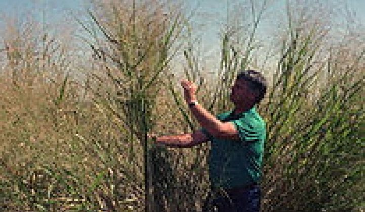 Switchgrass as Ideal Biofuel Feedstock?